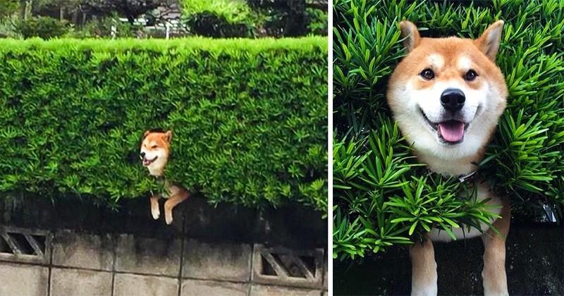 16 motive pentru care câinii Shiba Inu ar putea cuceri lumea